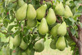 Pears on branch organic tree Stock Photography