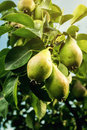 Pears On A Branch,unripe Green...