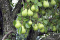 Pears Hanging on a Tree Royalty Free Stock Images