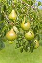Pears Hanging on the Tree Stock Photography