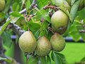 Pears hanging from a tree cluster of williams the Royalty Free Stock Photos