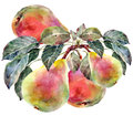 Pears and leaf branch background white nature watercolor handmade Royalty Free Stock Images