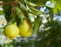 Pears on natural background Royalty Free Stock Photo