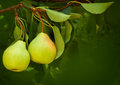 Pears on natural background Stock Photo