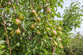 Pears orchard on branch Stock Images