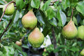 Pears organic in the garden Royalty Free Stock Photo