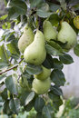 Pears tree branch with lots of Royalty Free Stock Photos