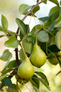 Pears on tree branch almost ripe summertime Royalty Free Stock Image