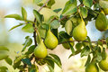 Pears on tree branch almost ripe summertime Stock Image