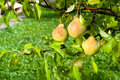 Pears on the tree branches Royalty Free Stock Photography