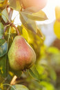 Pears on the tree with sunshine Royalty Free Stock Photo