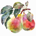 Pears watercolor handmade white background Stock Photography