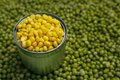 Peas corn background of and laid by hand remove debris canned and real Stock Photos