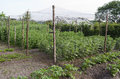 Peas in the organic vegetable garden. Royalty Free Stock Photo