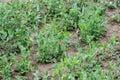 Peas plant in garden Royalty Free Stock Photo