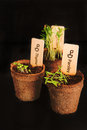 Peat pots of seedlings on a black background