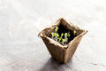Peat pots with young seedlings Basil seedling  Copy space Royalty Free Stock Photo