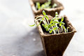 Peat pots with young seedlings Tomato Basil seedlings Horizontal photo Copy space Royalty Free Stock Photo