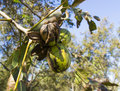 Pecans on a tree branch with leaves Royalty Free Stock Images