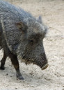 Peccary Stock Photo