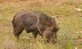 Peccary american or javelina feeding Stock Photos