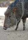 Peccary chacoan wild pig profile head portrait Stock Photo