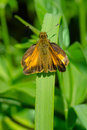 Peck`s Skipper Butterfly Royalty Free Stock Photo