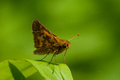 Peck s skipper perched on a leaf Royalty Free Stock Photography