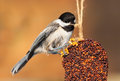 Pecking chickadee while perched a pecks at the rope of an ornamental bell shaped mold of nuts and seeds Stock Image