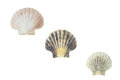 Pecten jacobaeus marine bivalve mollusc shell isolated over white with clipping path Stock Photography