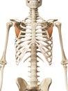 The pectoralis minor muscle anatomy Stock Image