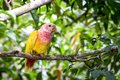 Peculiar mutation of a  little parrot Royalty Free Stock Photo