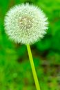 Peculiar round and symmetric flower in green meadow Stock Photos