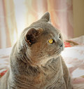 Pedigree cat portrait photo of a beautiful british shorthair side face profile showing bright yellow eye photo taken january Royalty Free Stock Photography