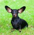 Pedigree dachshund Royalty Free Stock Photo