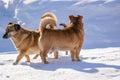 Pedigree dog walk walking in winter in the village Stock Photography