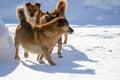 Pedigree dog walk walking in winter in the village Royalty Free Stock Images