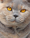 Pedigree eyes photo of gorgeous orange belonging to bumpkin a british shorthair cat Stock Image