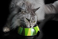 Pedigree maine coon cat eating bowl Royalty Free Stock Photo