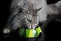 Pedigree Cat Eating Royalty Free Stock Photo