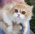 Pedigree persian cream cat outdoors Stock Photos