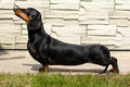 Pedigreed dog Dachshund the show position Royalty Free Stock Photo