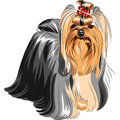 Pedigreed dog Yorkshire terrier Royalty Free Stock Photo