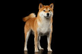 Pedigreed Red Shiba inu Dog Standing on Black Background