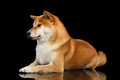 Pedigreed Shiba inu Dog Lying, Looks closely, Black Background Royalty Free Stock Photo