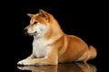 Pedigreed Shiba Inu Dog Lying,...