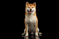Pedigreed Shiba inu Dog Sitting, Smiling, Looks Curious, Black Background