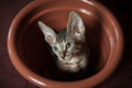Pedigreed sphynx cat velur kitten in a flower pot Royalty Free Stock Photo