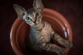 Pedigreed sphynx cat velur kitten in a flower pot Stock Images