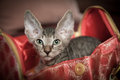 Pedigreed sphynx cat velur kitten in a ladies handbag Stock Photos
